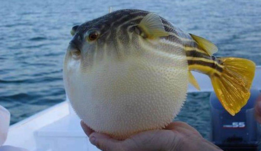 Balon Balığı Nedir? Zehirli midir?