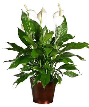 Barış Çiçeği – Spathiphyllum - Yelken Çiçeği nedir?