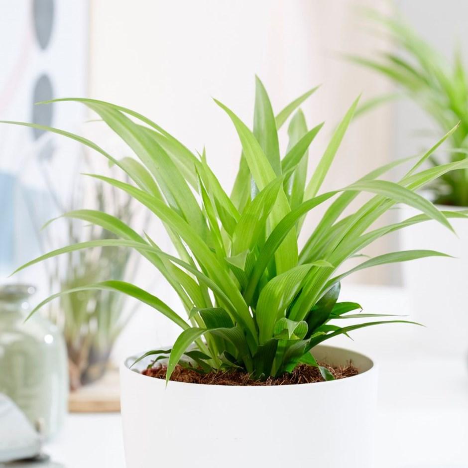 Kurdele Çiçeği - Chlorophytum Nedir?