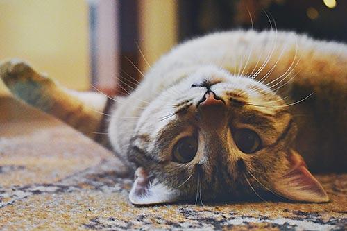 Kedilerde Sağırlığa Neden Olan Durumlar