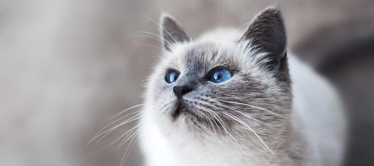kedilerde kulak hastalık belirtileri