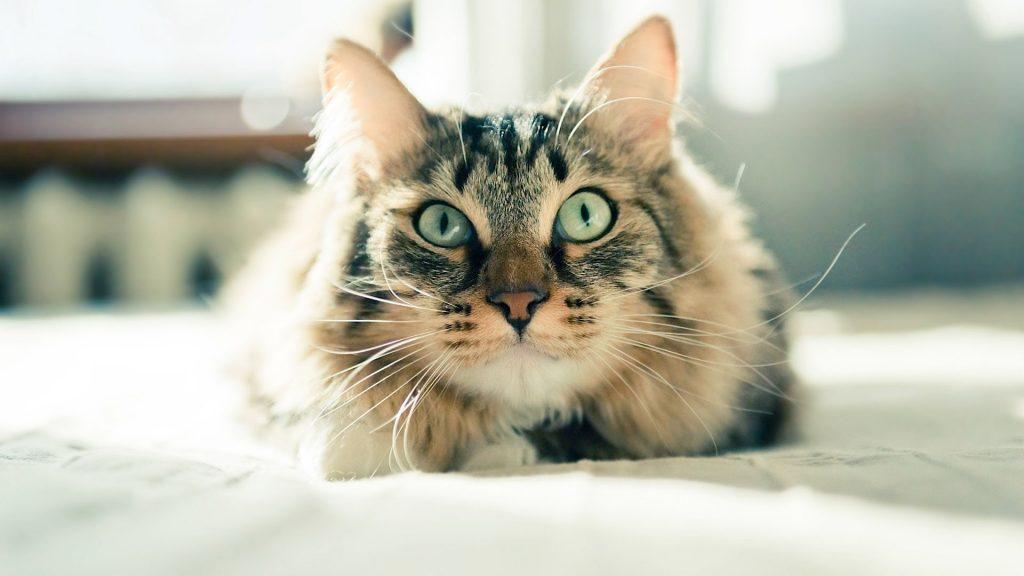 kedilerde sağırlık